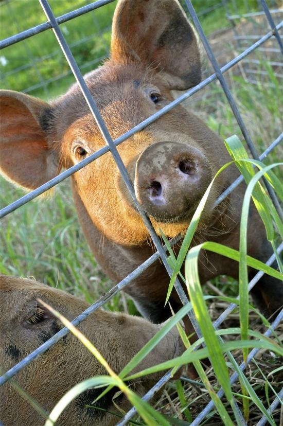 Tamworth pigs enjoying their pasture.