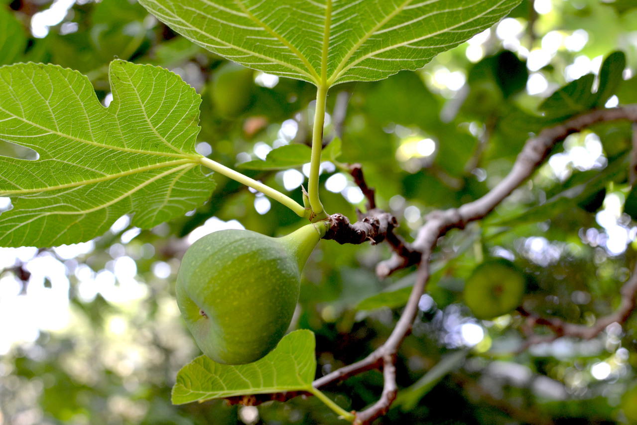 green-figs-on-tree-1-1142162-1279x852.jpg