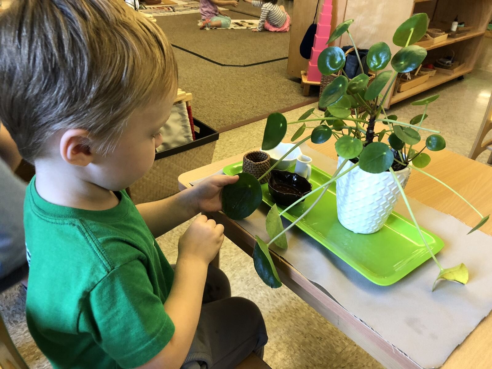 A three-year-old student takes care of a plant in his classroom. Notice that the bowl, water pitchers, and cotton balls are all the perfect size for his hands.