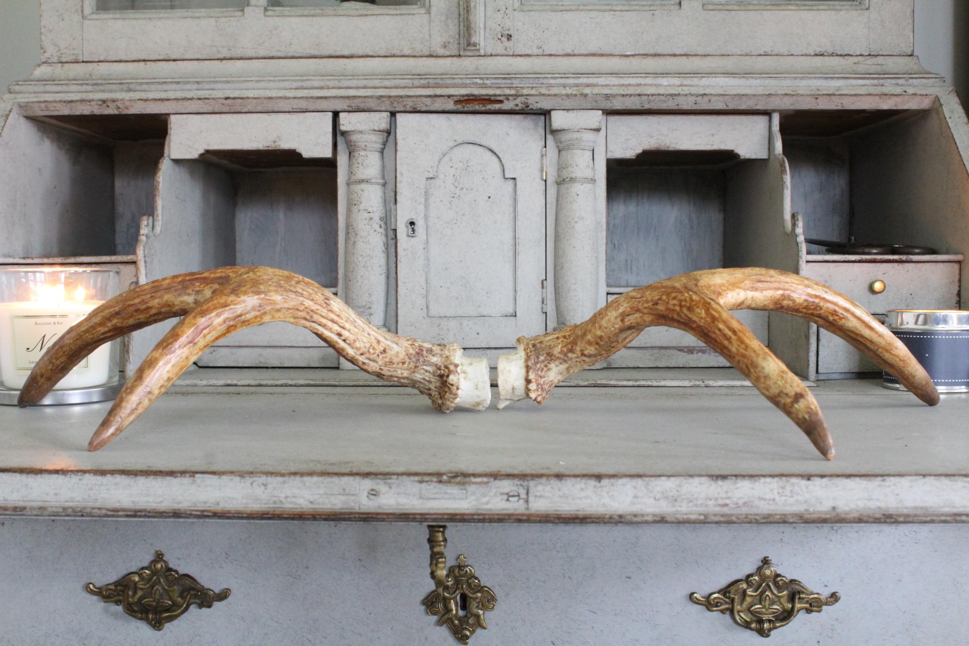 Swedish Moose antlers approx 35 Cm long £75