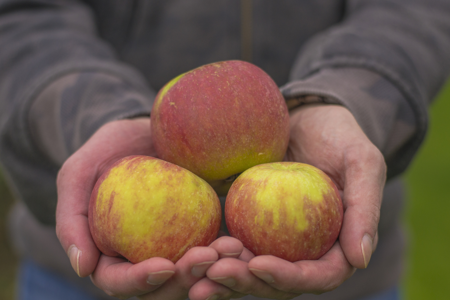 A view of freshly picked apples.