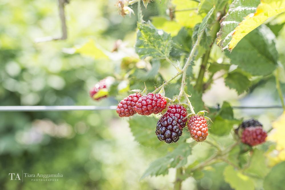 Fresh blackberries.