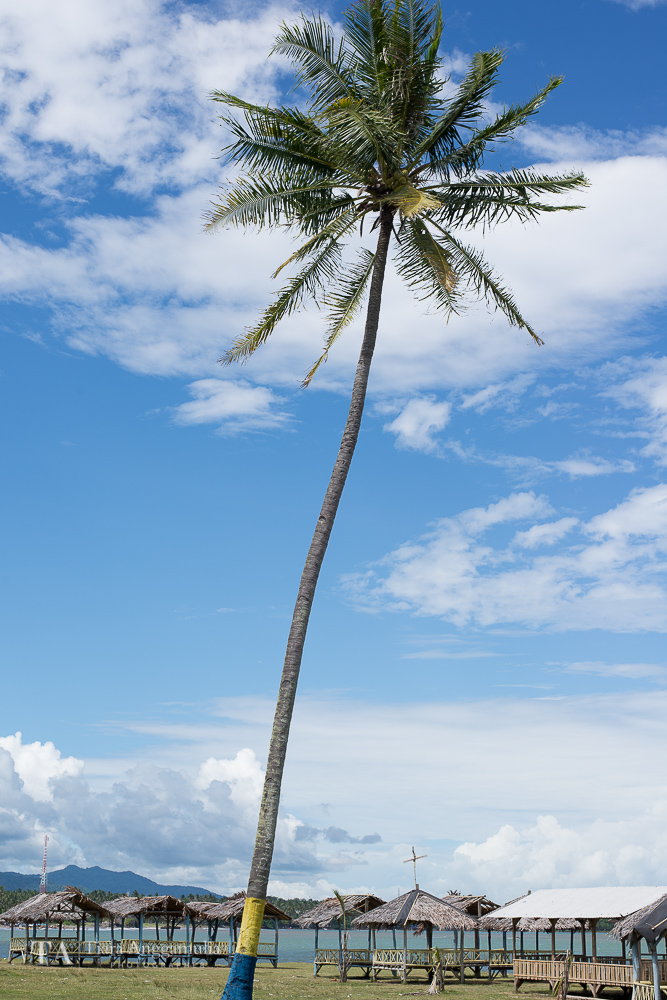 A view of coconut tree.