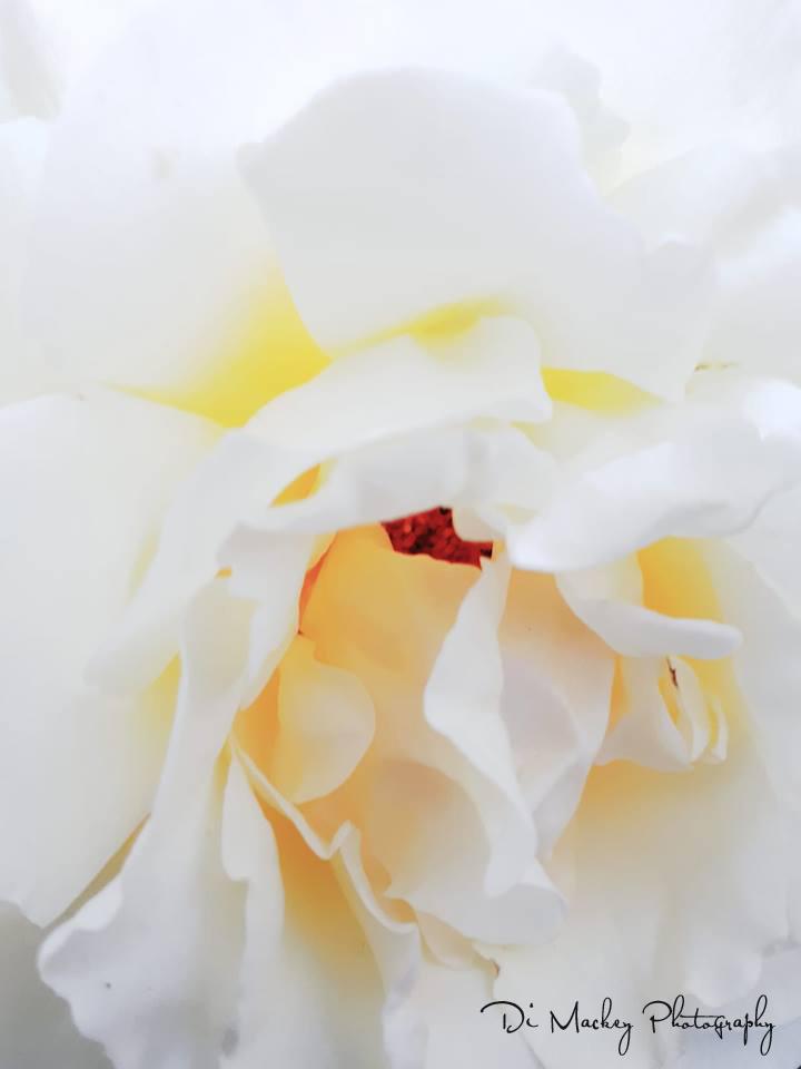a rose, dad's garden.jpg