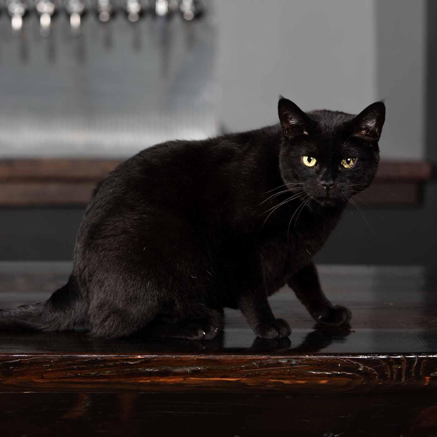 Otter  Brewery Cat (Retired)