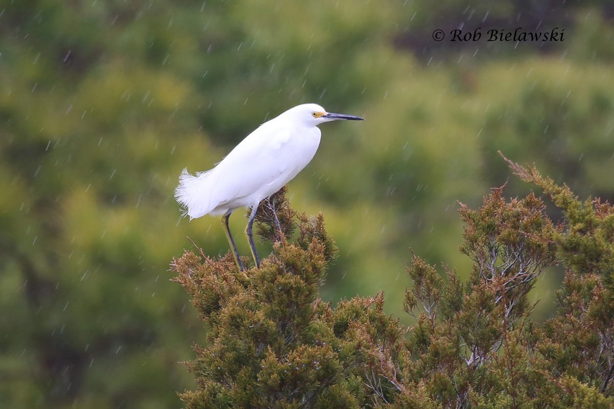 A Snowy Egret sitting atop a tree in the rain, taken just before I had to put my camera away for a little while.