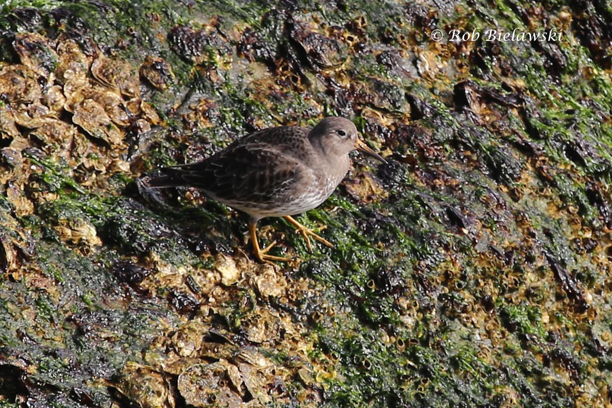 A beautiful Purple Sandpiper, a small species of shorebird that winters along the coast on rocky shorelines like at the Chesapeake Bay Bridge-Tunnel.