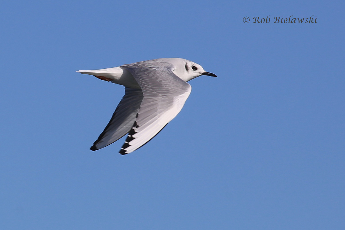 The small, Bonaparte's Gull, a common winter resident in Virginia Beach off the coast.