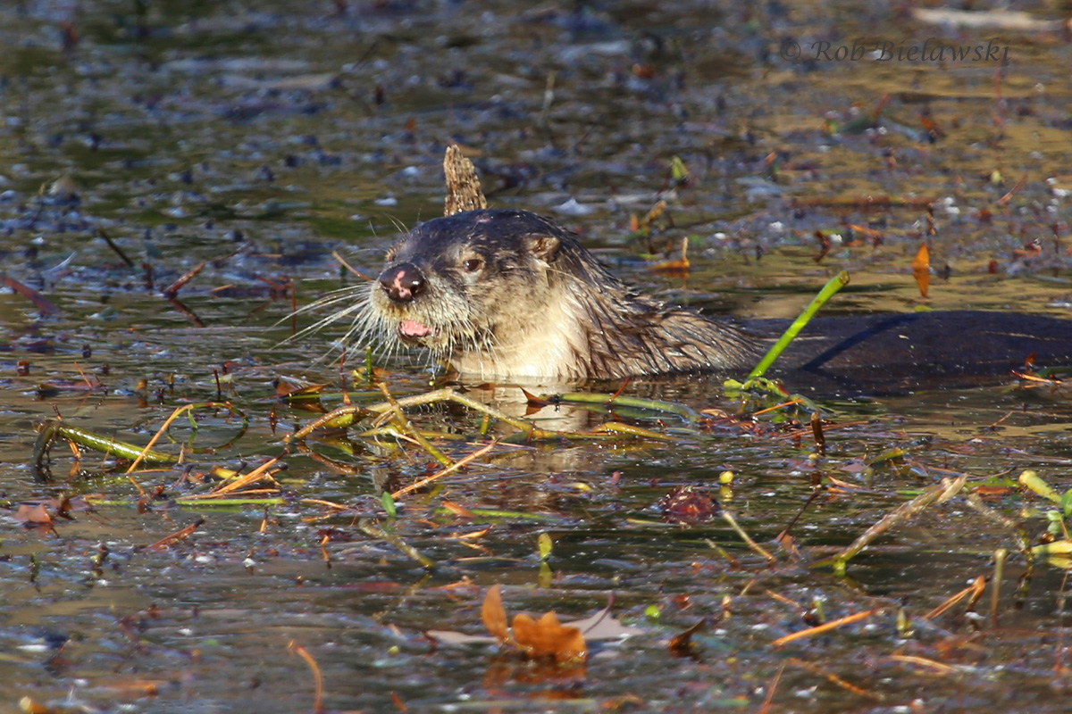 A River Otter plays amongst the floating vegetation mat at Kings Grant Lake!
