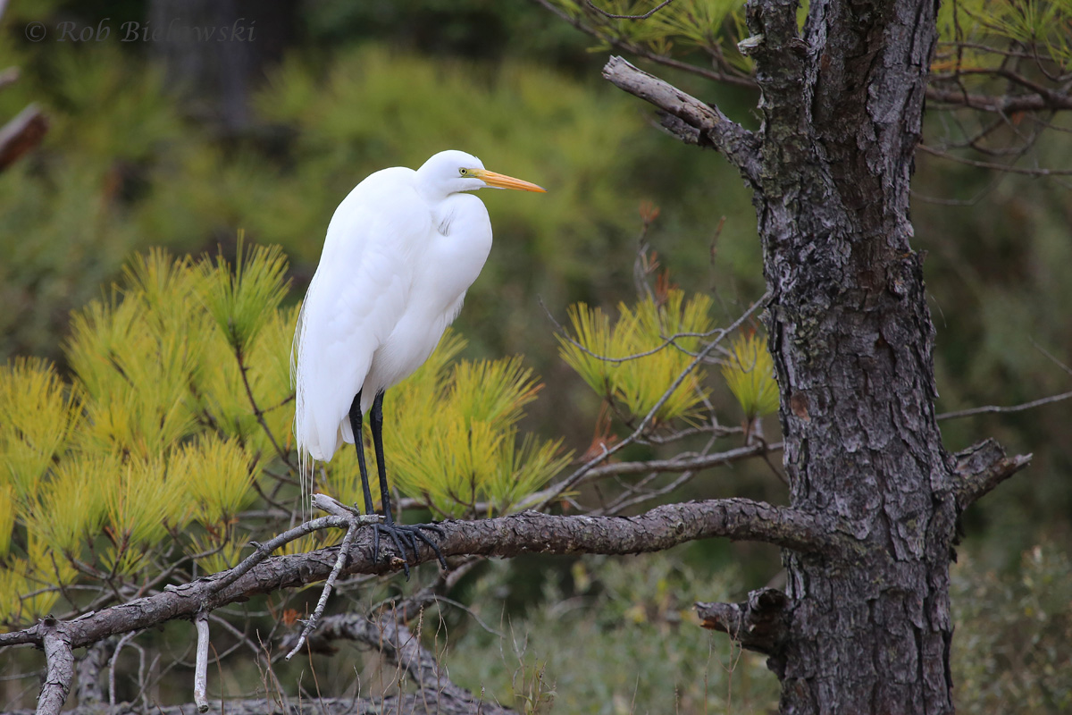 A beautiful Great Egret seen on an overcast day against the pine tree backdrop of Pleasure House Point!
