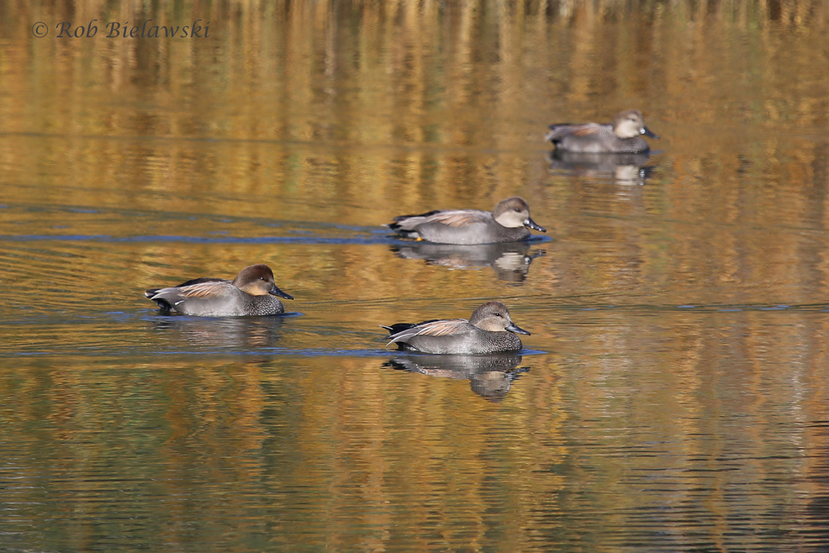 A SMALL GROUP OF GADWALLS SITTING AGAINST THE BEAUTIFUL REFLECTION OF WINTER MARSH GRASSES!