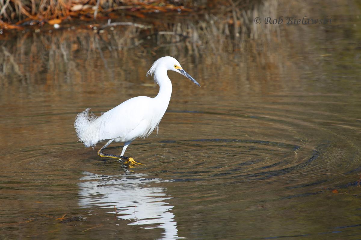 Snow Egret