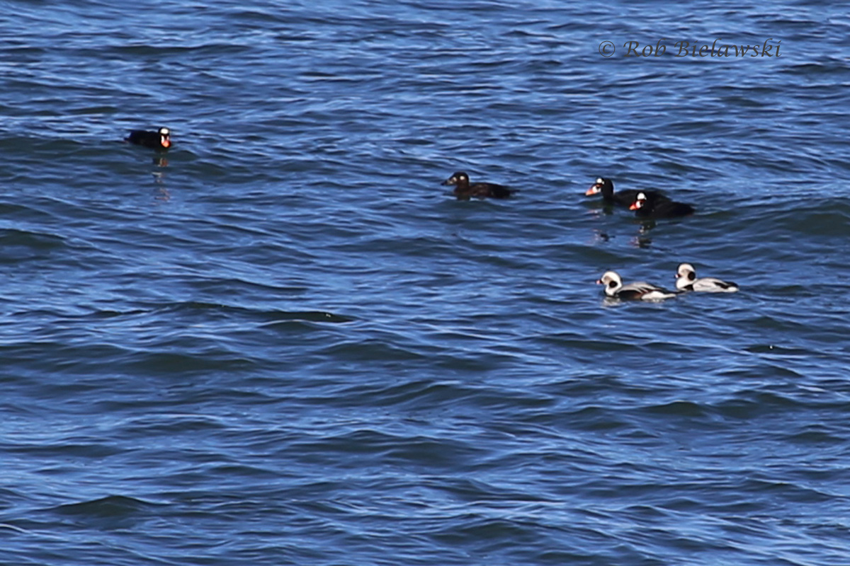 Surf Scoters & Long-tailed Ducks