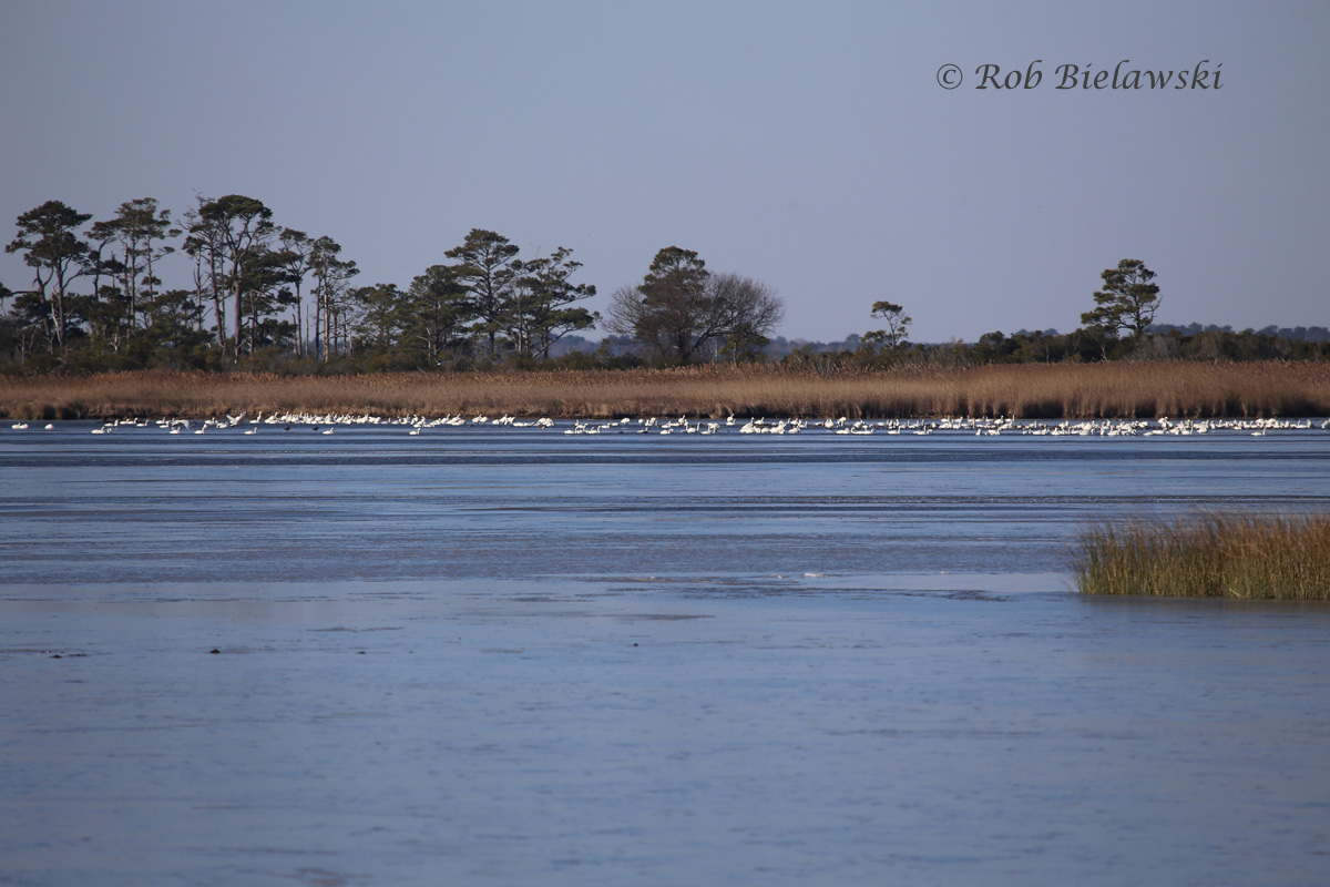 Back Bay all frozen up except for a few holes occupied by a flock of Tundra Swans!