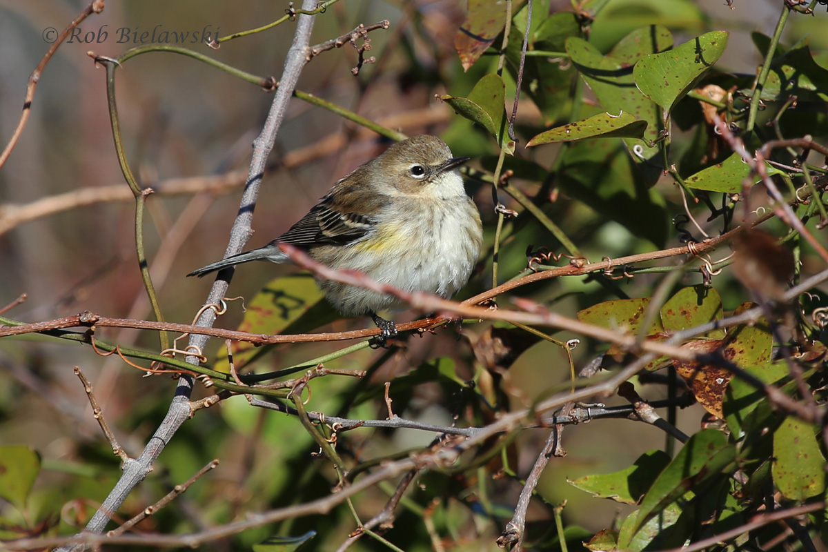 One of the many, many Yellow-rumped Warblers seen over the last week!