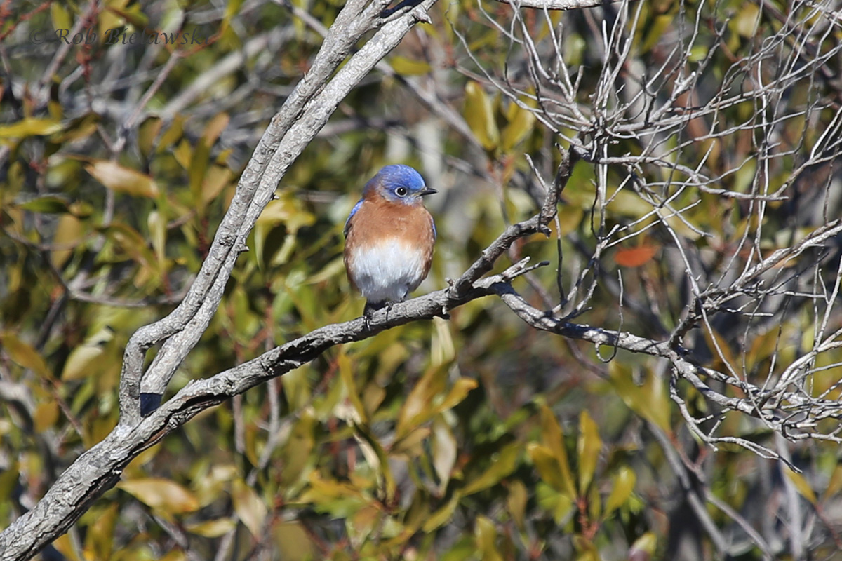 A male Eastern Bluebird seen at Pleasure House Point in a larger flock.