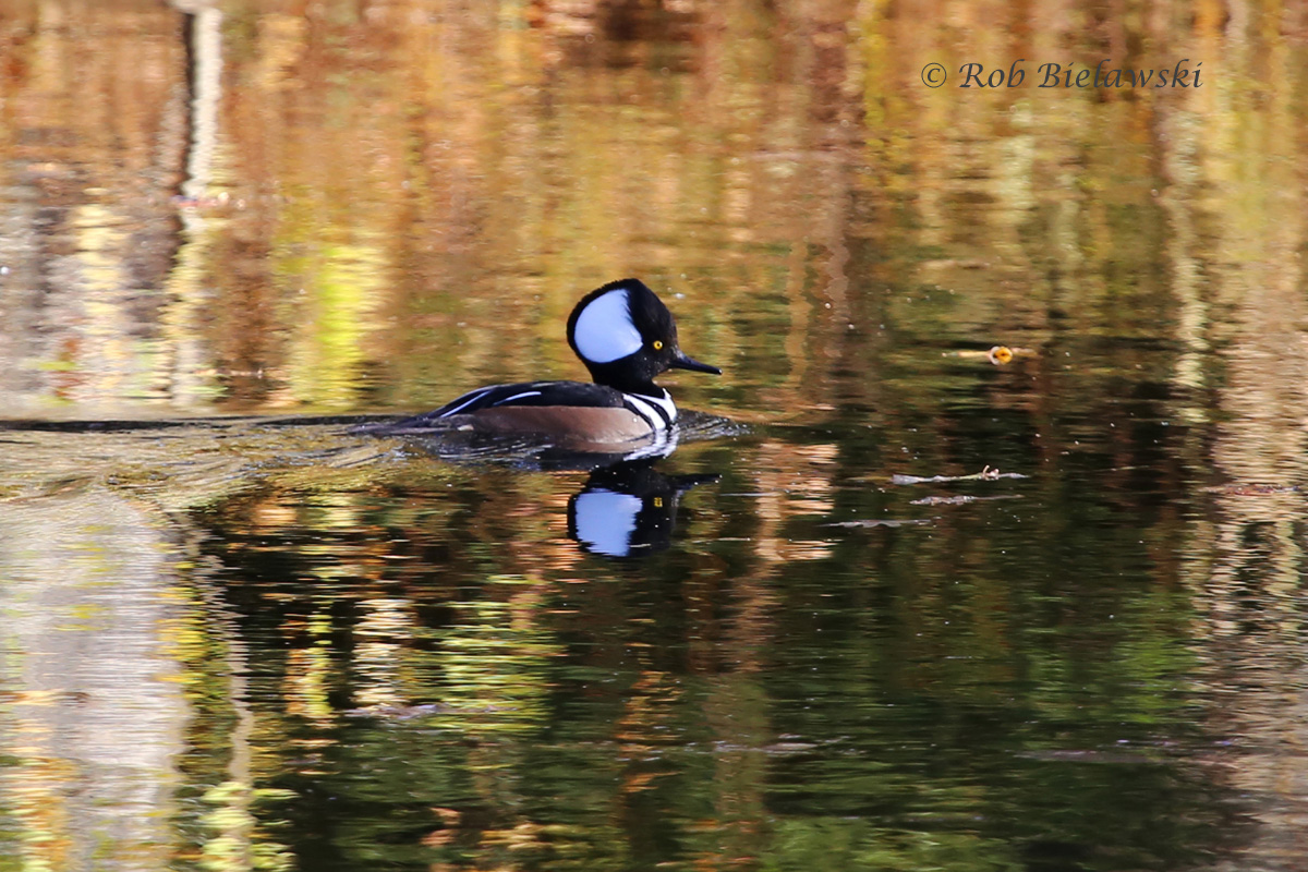 Hooded Merganser drakes are one of the most beautiful species of waterfowl that can be found in our region!