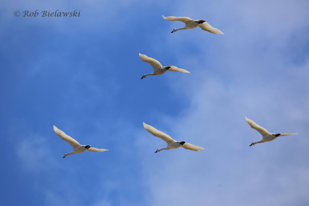 Tundra Swans in flight over Oregon Inlet, NC!