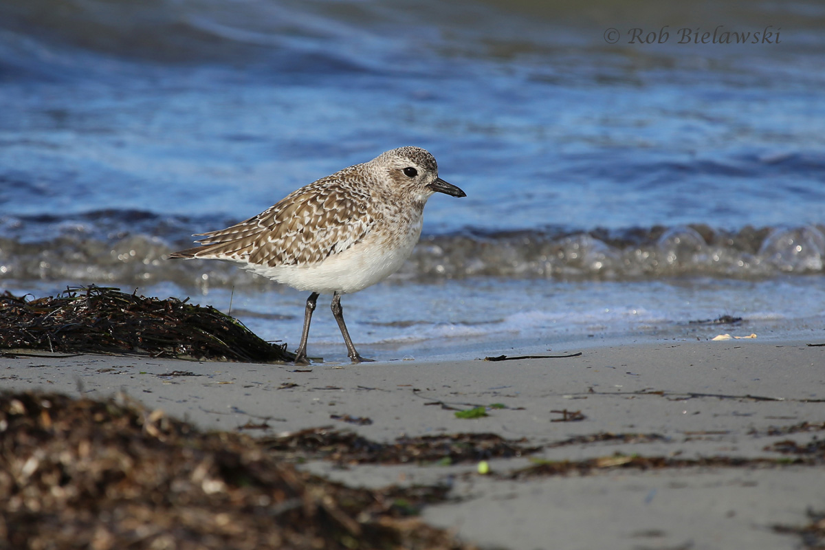 A Black-bellied Plover at Oregon Inlet showing off it's nonbreeding plumage.