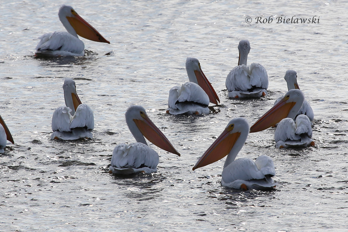 Part of the flock of 30-40 American White Pelicans currently taking refuge at Pea Island NWR!