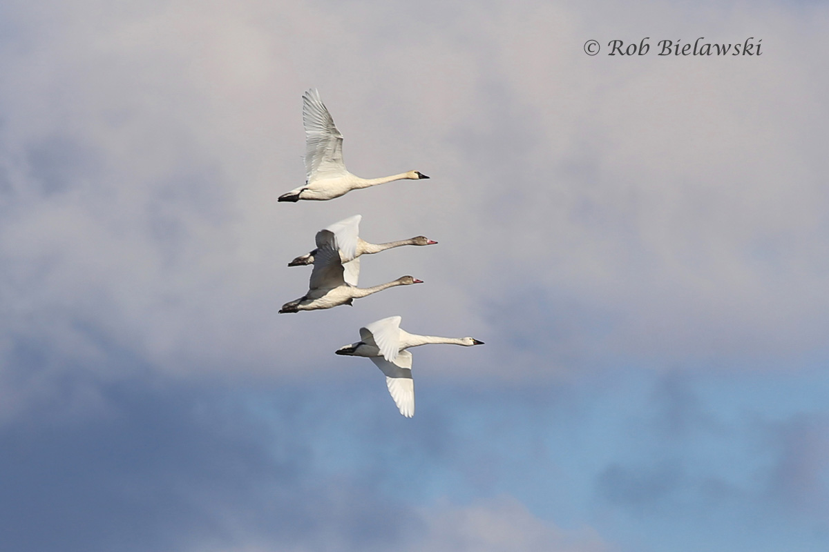 Tundra Swans (adults at top and bottom, juveniles in the middle) flying past the Bodie Island Lighthouse.
