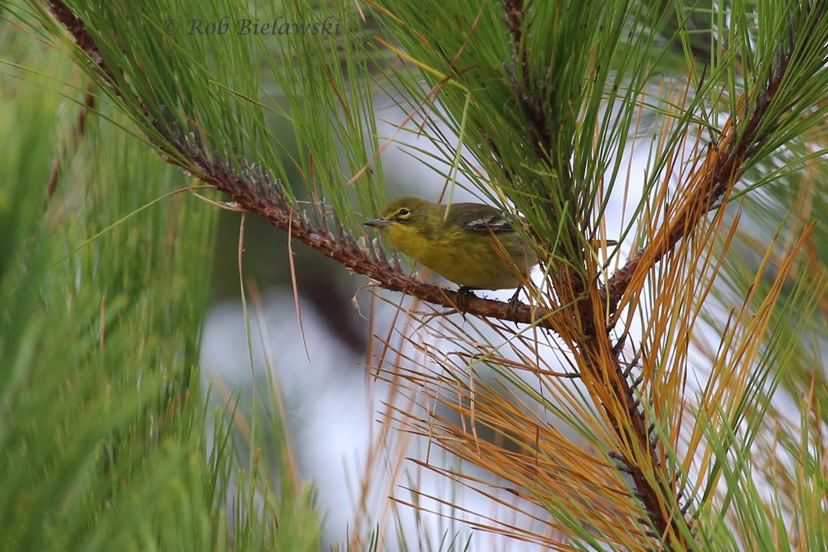 Pine Warbler sitting in its namesake tree at Pleasure House Point!