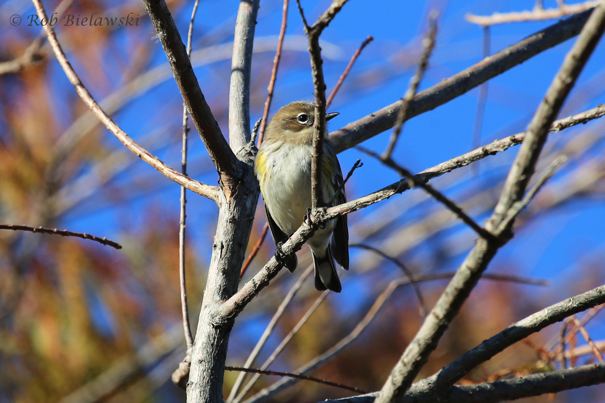Our most common winter warbler, the Yellow-rumped Warbler!