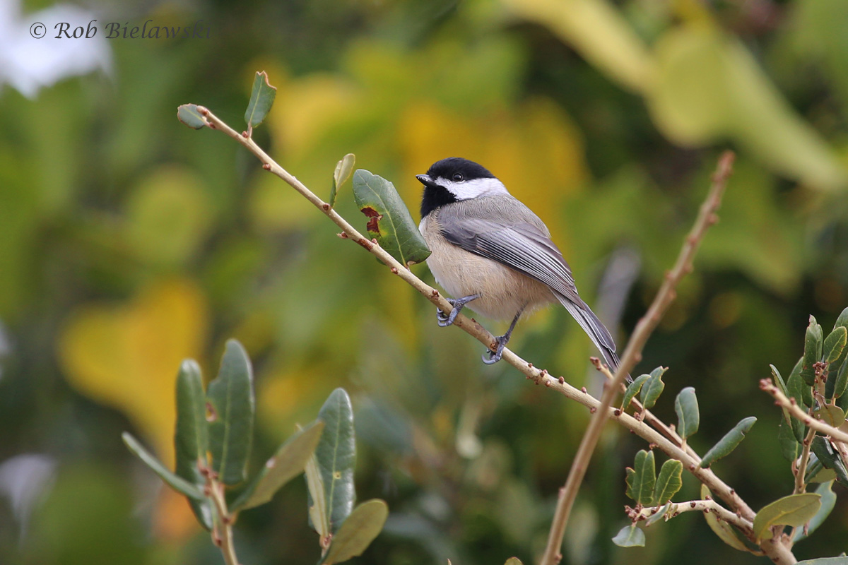 My mother's favorite bird (kind of), this is a Carolina Chickadee in front of some of our beautiful fall foliage. (Her favorites were technically Black-capped Chickadees but we don't have those here).