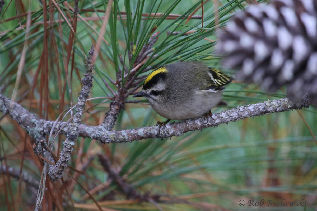 During the high winds on Friday evening, I found this beautiful little Golden-crowned Kinglet taking refuge in a closed off area of pine trees, well protected from the winds!