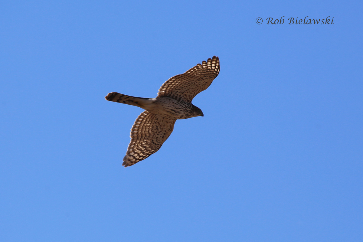 One of very few photographs I got this past week of wildlife, this was a juvenile Cooper's Hawk that flew over Ruth & I while hiking at Pleasure House Point on Sunday!