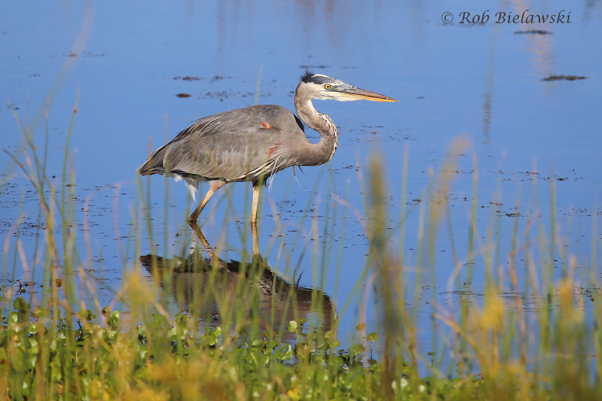 A beautiful adult Great Blue Heron seen along the East Dike Trail at Back Bay NWR on Saturday!