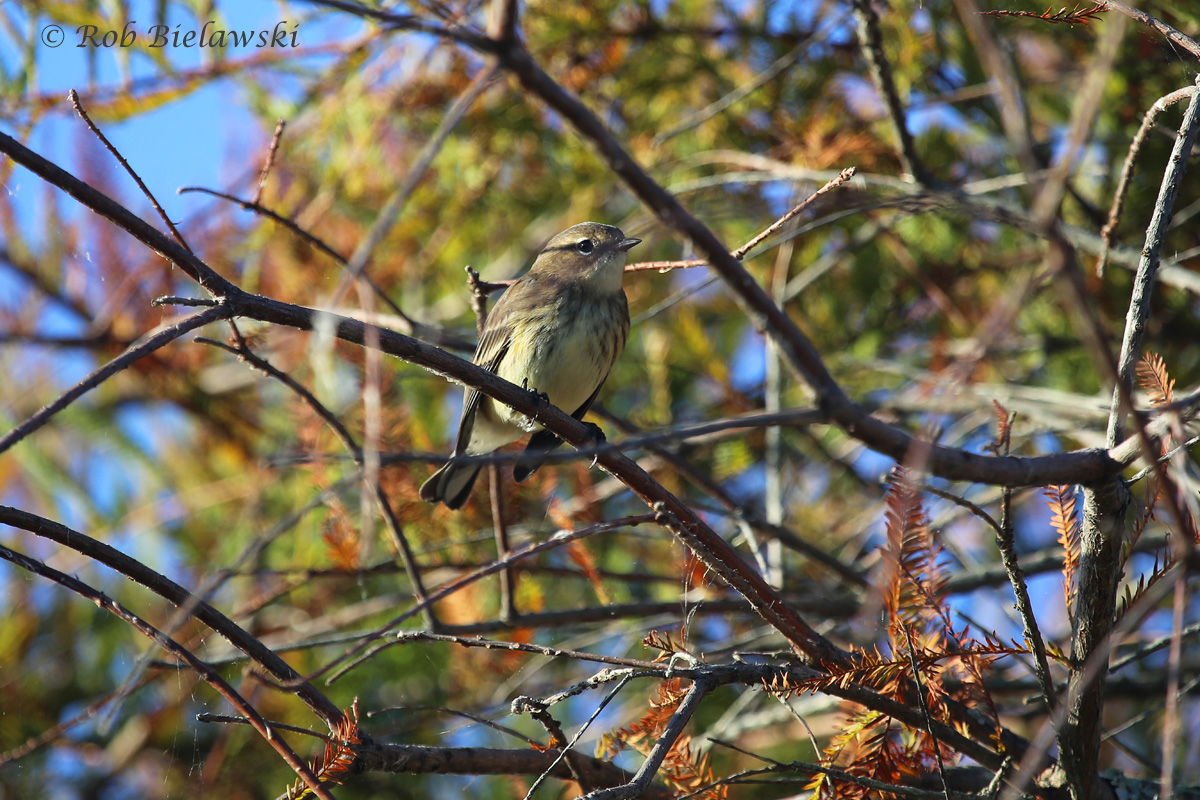 Yellow-rumped Warbler, our most common winter warbler, starting to show up in big numbers around the region. This one was seen at Back Bay NWR!