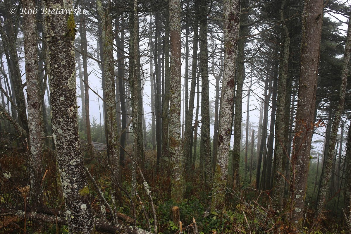 Looking through the cloud cover into the pine forests at the top of Mount Mitchell, the highest peak east of the Mississippi River!