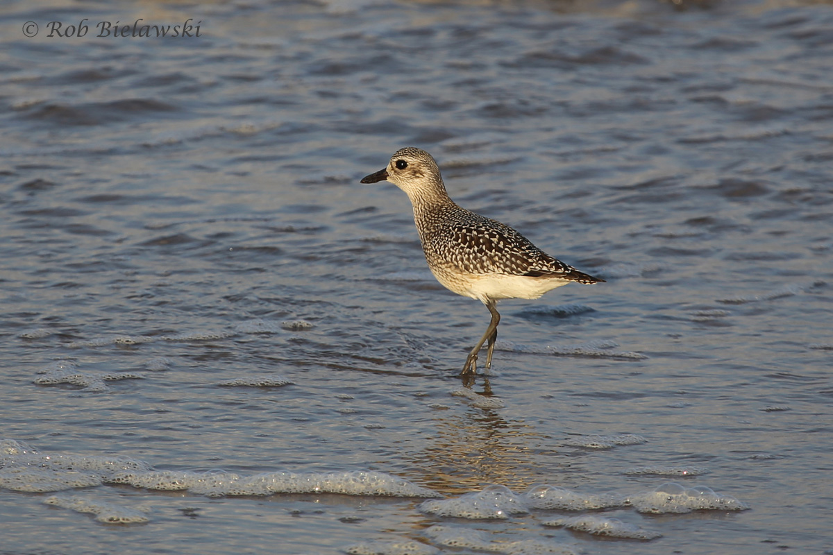 One of the two Black-bellied Plovers seen along the beaches at Back Bay NWR on Wednesday evening!