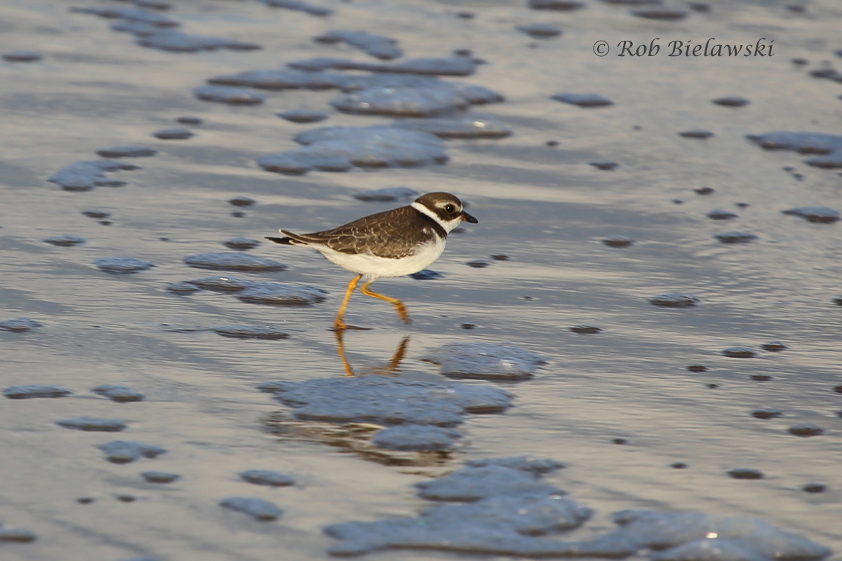 One of only two Semipalmated Plovers that were seen on Wednesday evening. The sunlight this time of year after work provides some interesting angles on the beach!