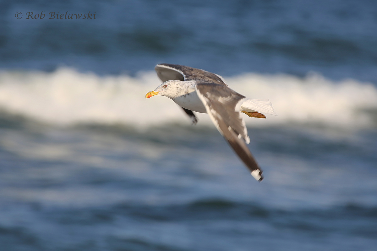 A Lesser Black-backed Gull cruising along the coastline at Back Bay NWR on Wednesday evening!