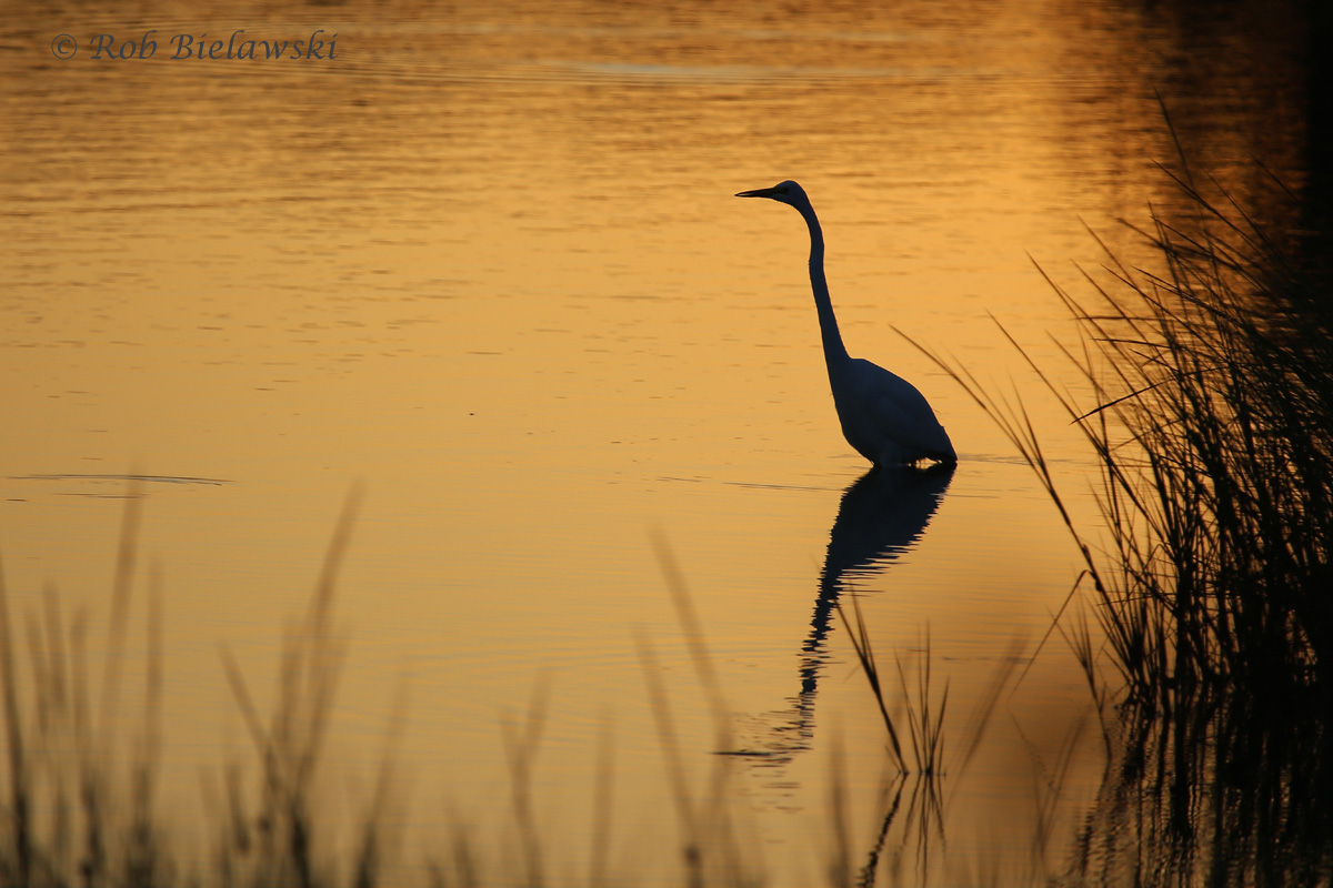 A Great Egret catching the last rays of the sun at Pleasure House Point on Tuesday evening!