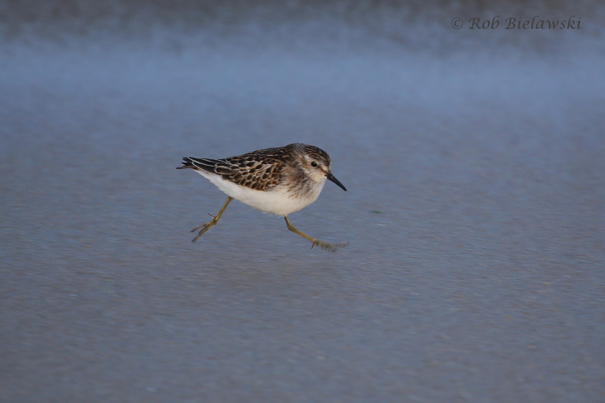 A Least Sandpiper appearing to be floating over the sand thanks to some tricky light from the setting sun!