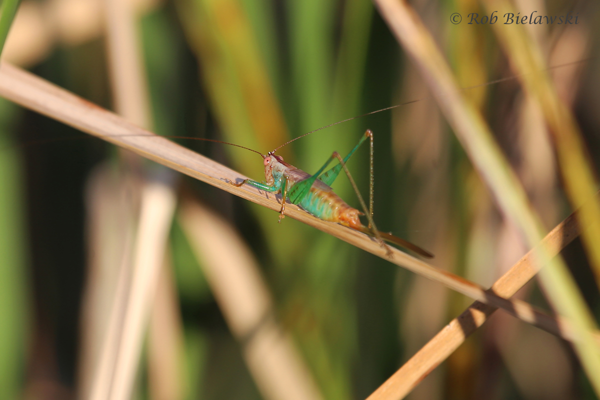 A nymph Katydid seen at Back Bay National Wildlife Refuge!