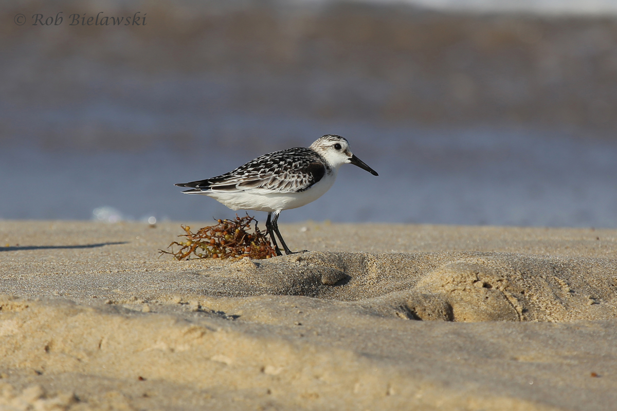 Sanderling rooting around one of many, many masses of washed up vegetation due to high winds this week.