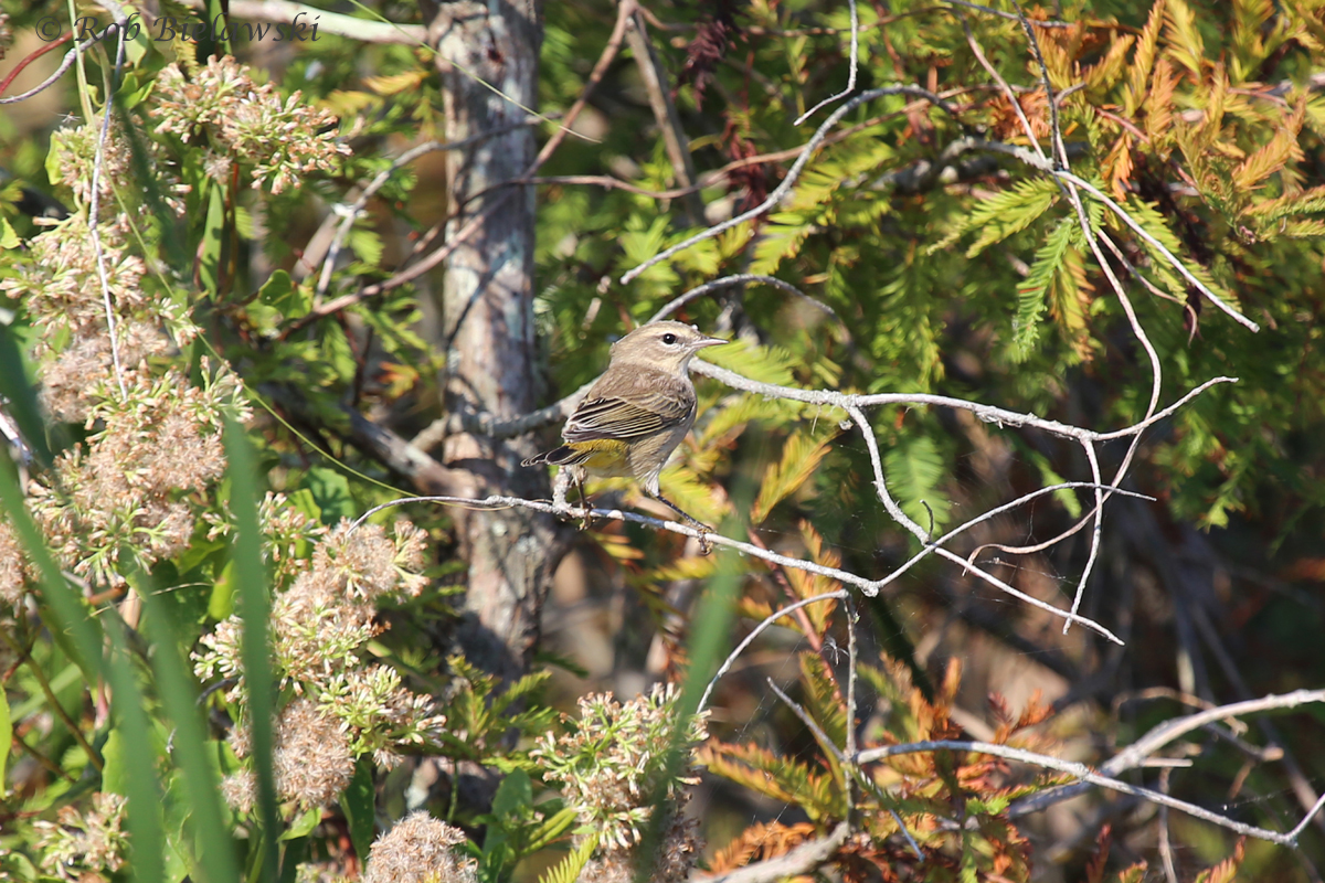My first Palm Warbler sighting of the season, made easy to ID by the yellow undertail coverts.