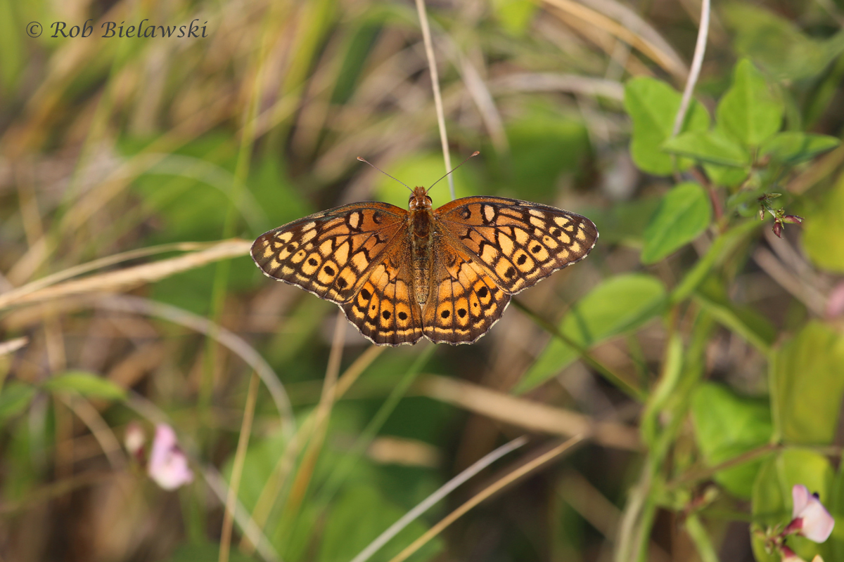 Variegated Fritillary seen at Pleasure House Point!