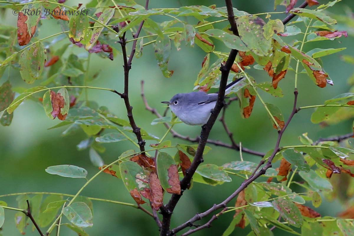Blue-gray Gnatcatcher, one of the most hyper songbirds you can find, rarely sitting still for more than a split second...I got lucky on this one.