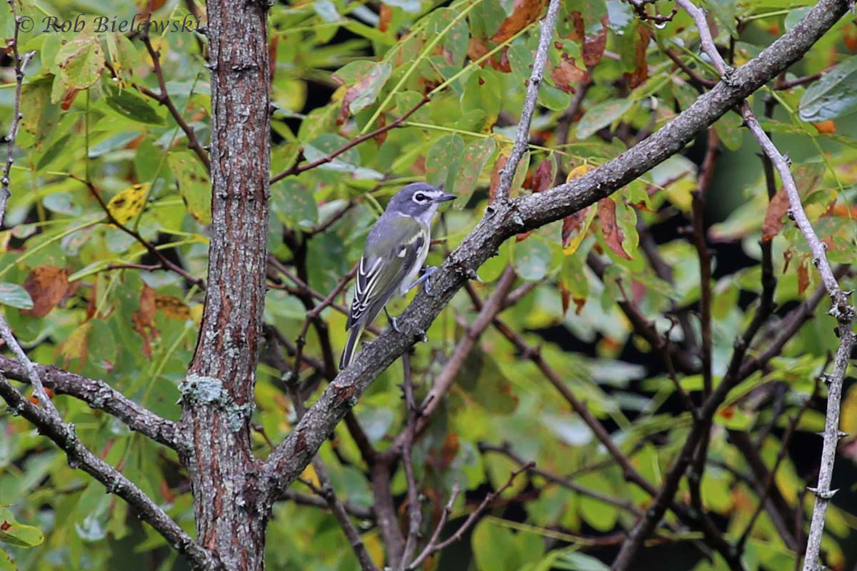 Another migrant songbird, the beautiful Blue-headed Vireo.