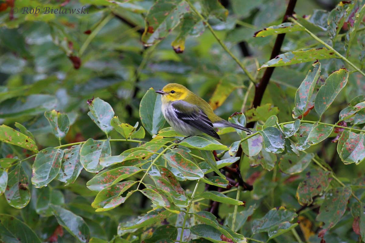 Black-throated Green Warbler, one of many migrant songbirds I saw while out of town this weekend. Folks have been reporting numerous species in Hampton Roads this week as well.