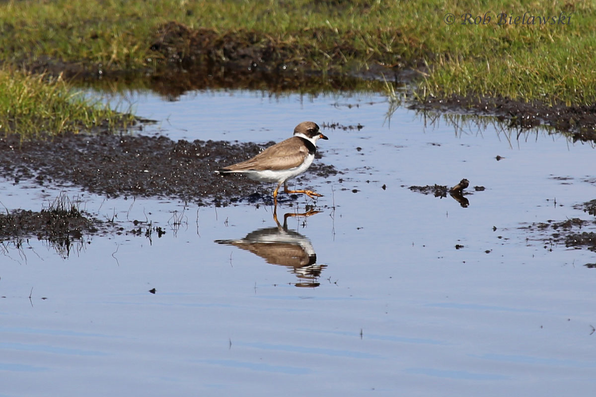 Semipalmated Plover, one of many, many species of shorebirds that are being seen around the region right now.