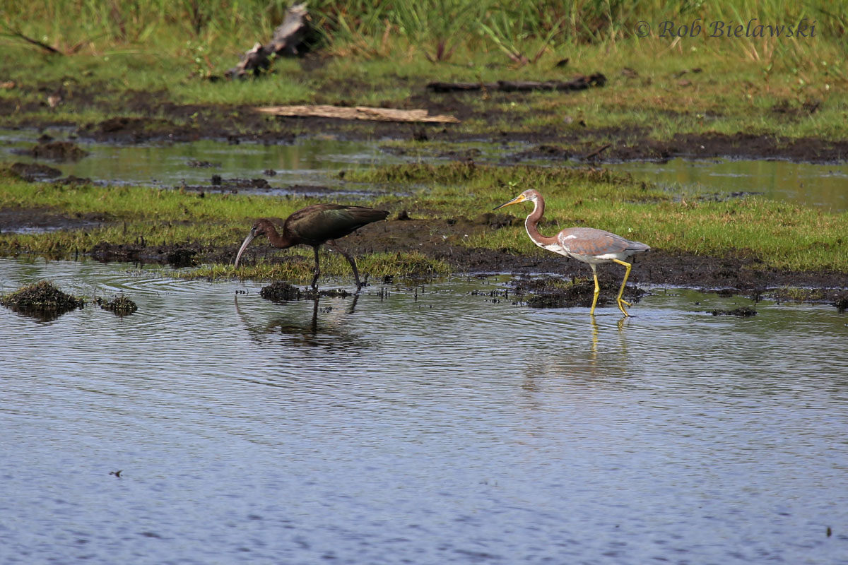 Glossy Ibis at left, hanging out with a Tricolored Heron at right, taken at Mackay Island NWR!
