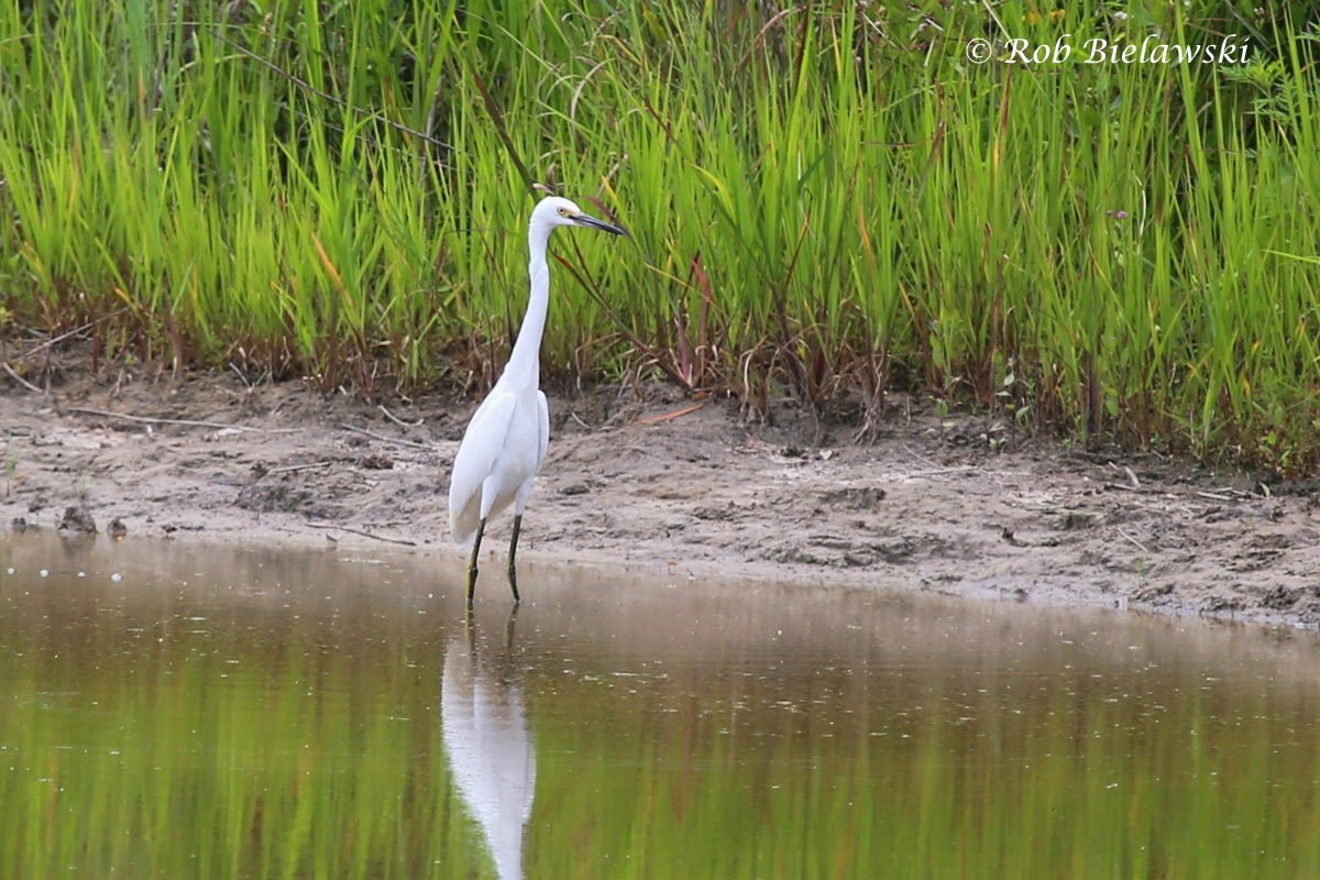 A beautiful Snowy Egret (note black bill, yellow face, and black/yellow legs) seen at Whitehurst Tract of Princess Anne Wildlife Management Area in Virginia Beach while hunting for the rare Ruff that was sighted.