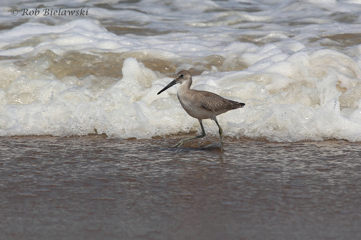 Another shot of a Willet at the Oceanfront from the weekend. This one was quite inquisitive and spent a lot of time darting in and out of the waves as they crashed onto the beach.