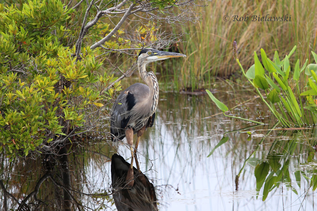 Resident Great Blue Heron along the Loop Road at Back Bay NWR!